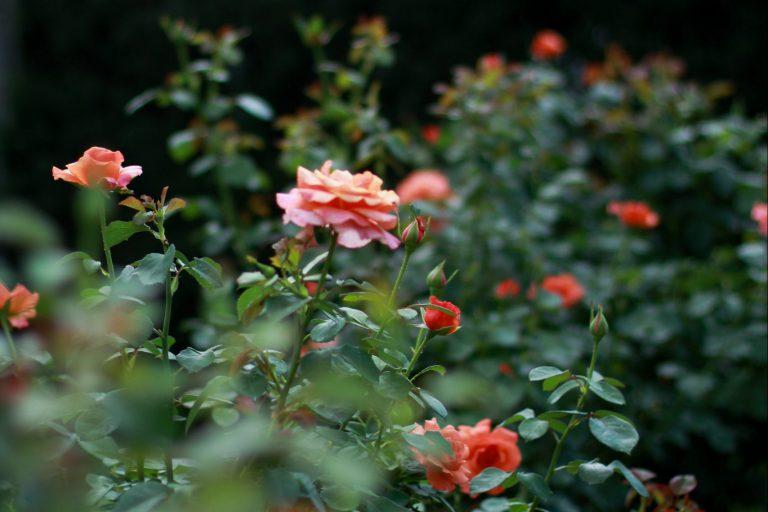 """ד""""ר חלי אברהם איתן \ ורדים"""